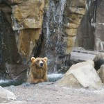 Kodiak bear at the Duluth Zoo