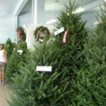 It's Christmas in August! The trees are always so carefully trimmed.